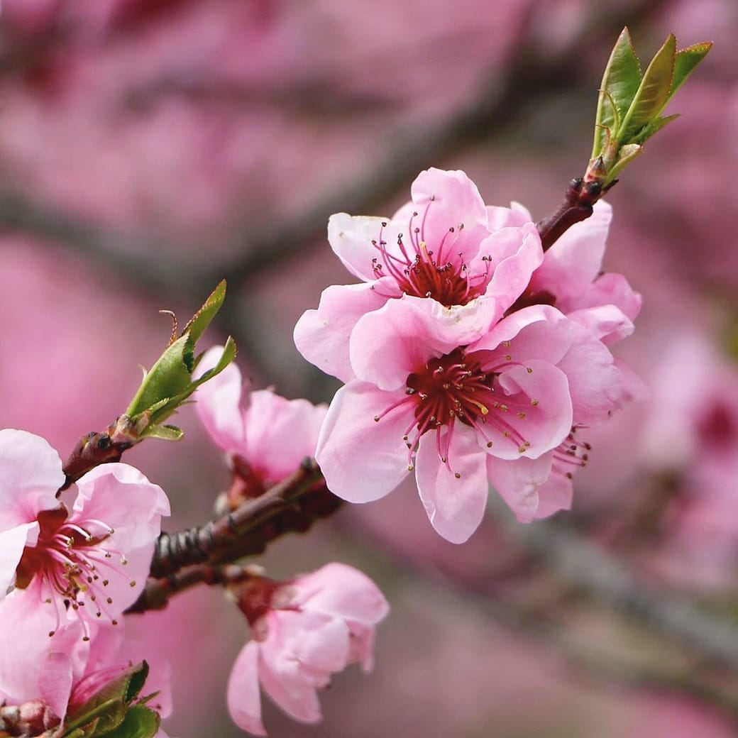 Image of cherry blossom