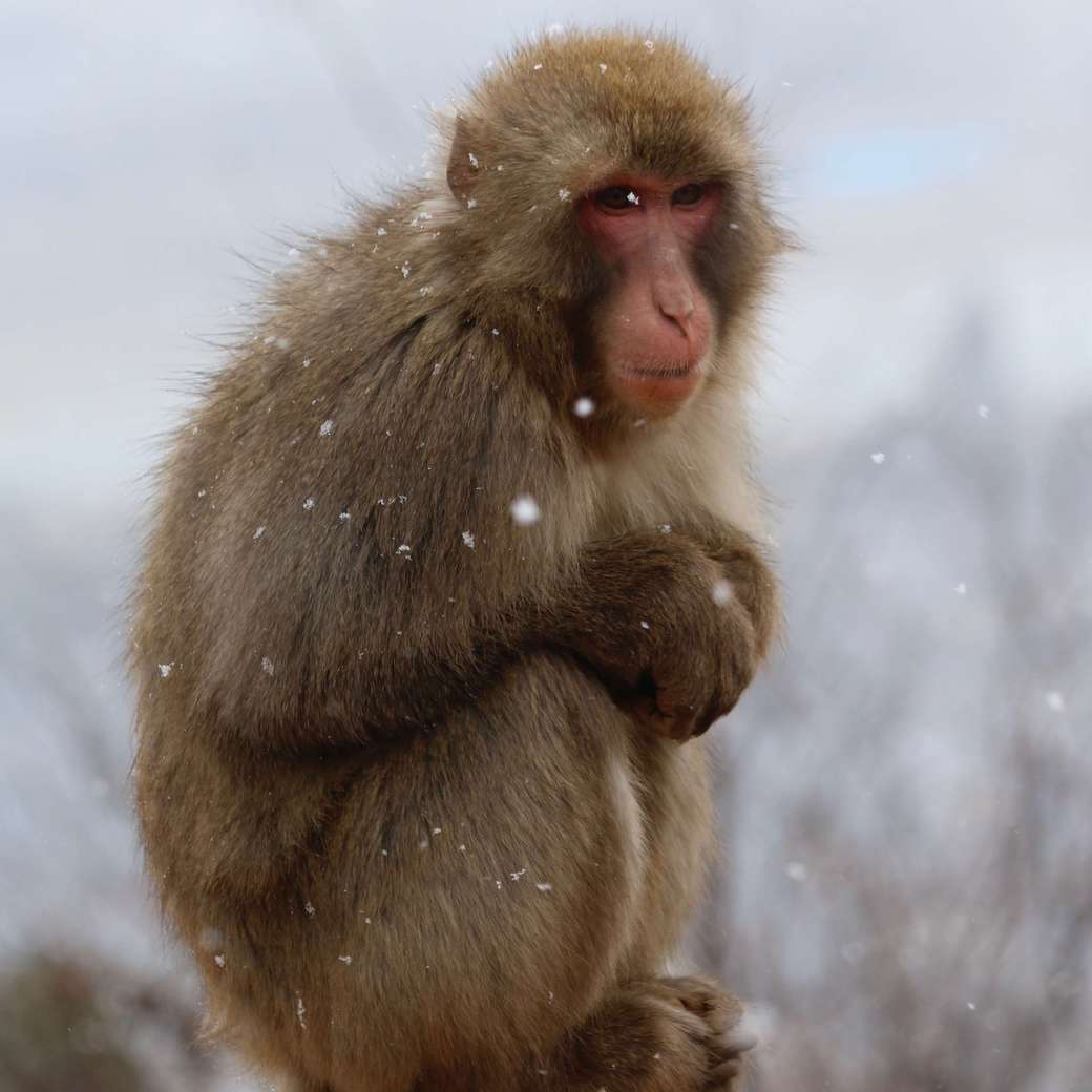 Image of a snow monkey