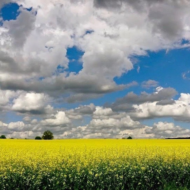 Image of a rape field