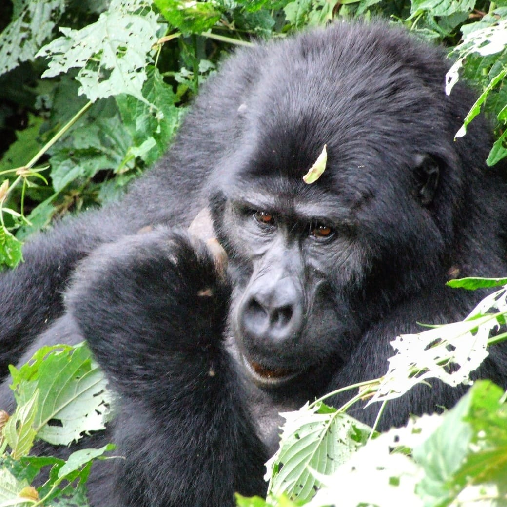 Image of a mountain gorilla