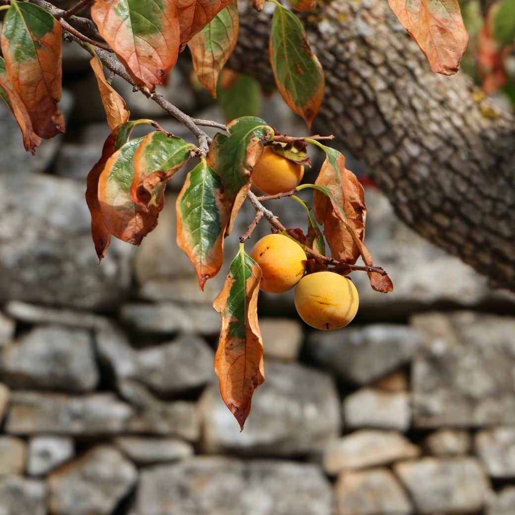 Image of a Kaliyoga fruit tree