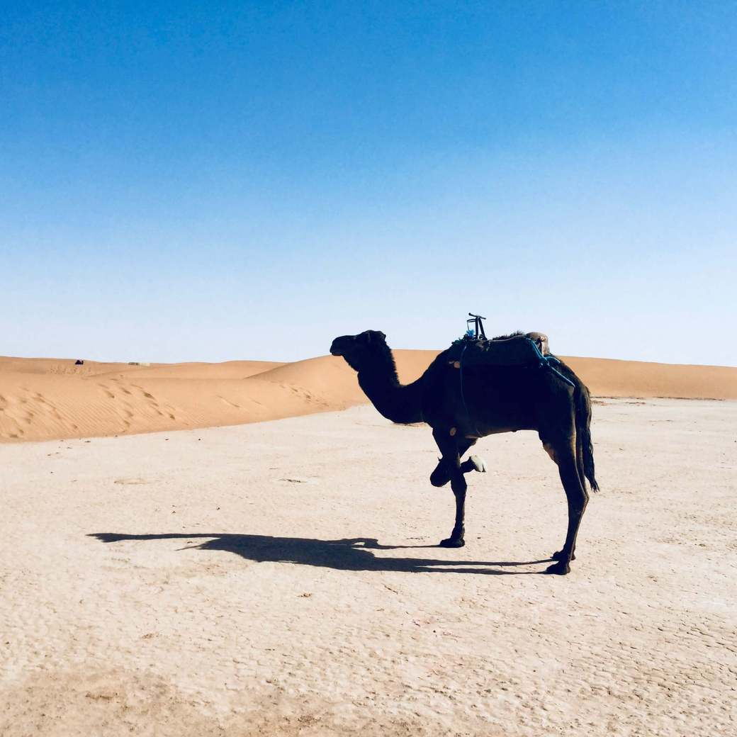 Image of camel