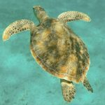 Image of sea turtle