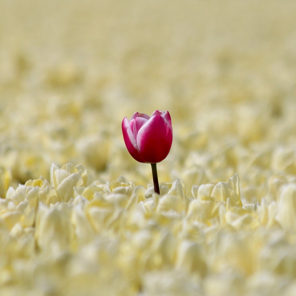 Image of a lone tulip