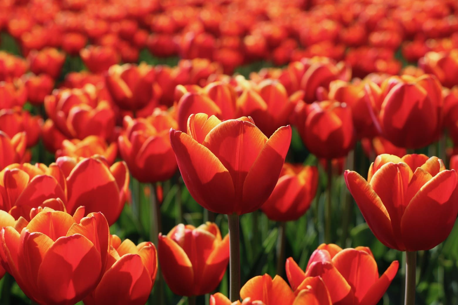 Image of red tulips
