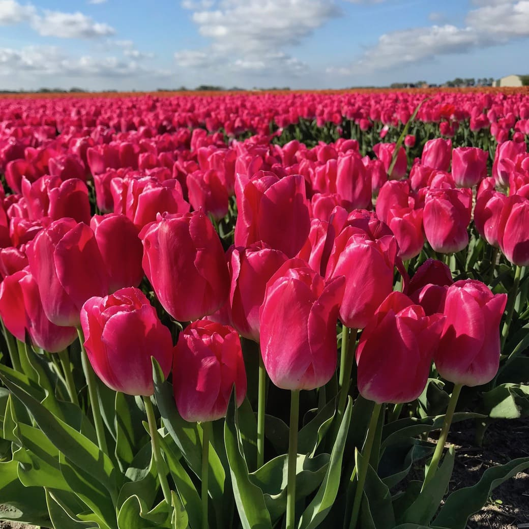 Image of bright-coloured tulips