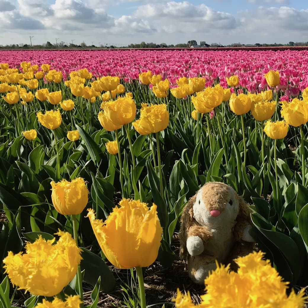 Bunny and tulip fields