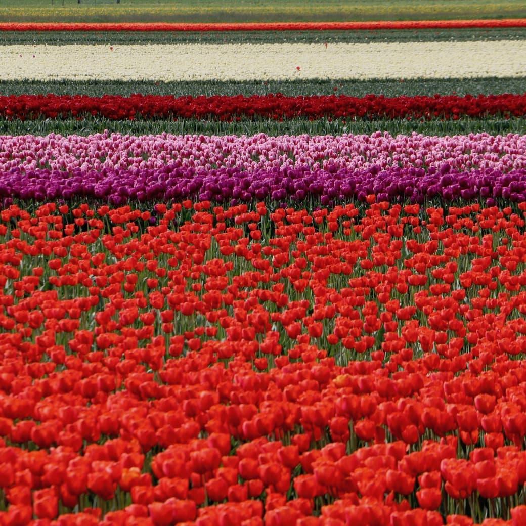 Image of tulip fields