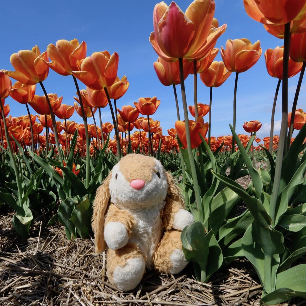 Image of Bunny and tulips