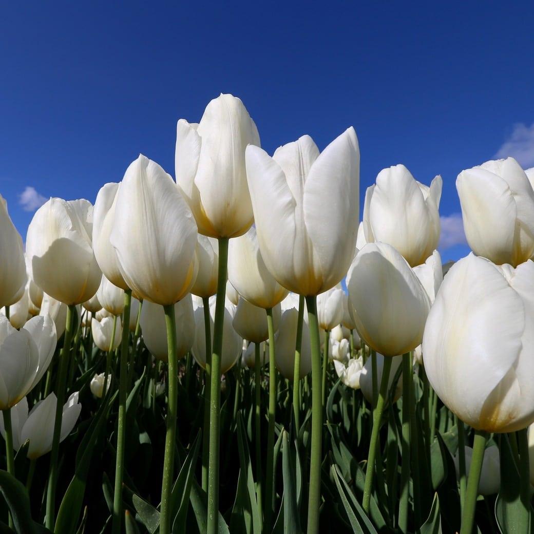 Image of white tulips