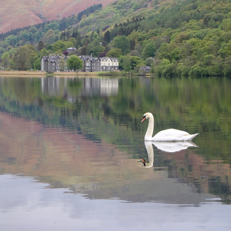 Swan on Grasmere