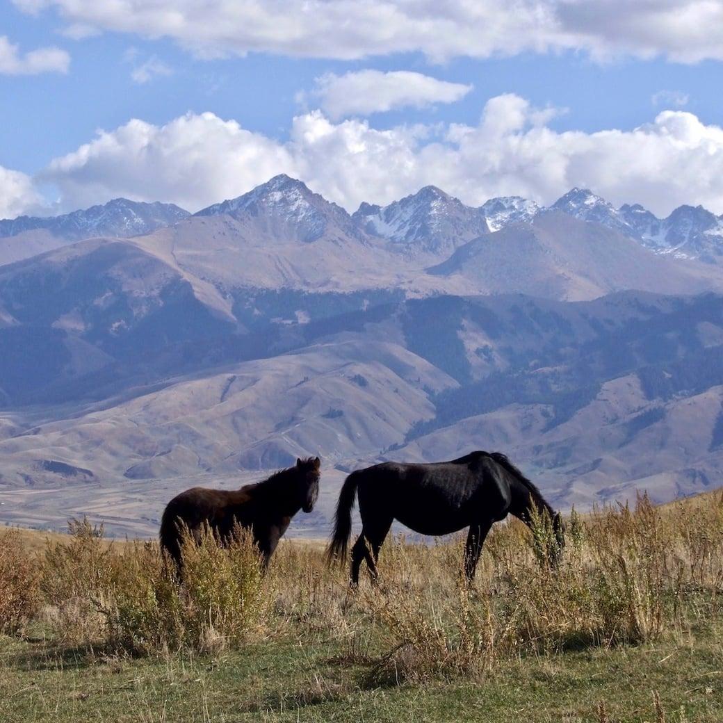Wild horses in Kyrgyzstan