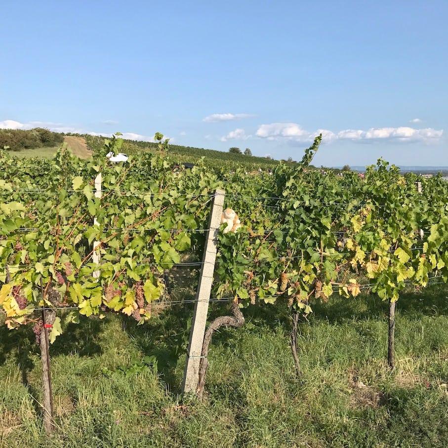 Bunne loves vineyards