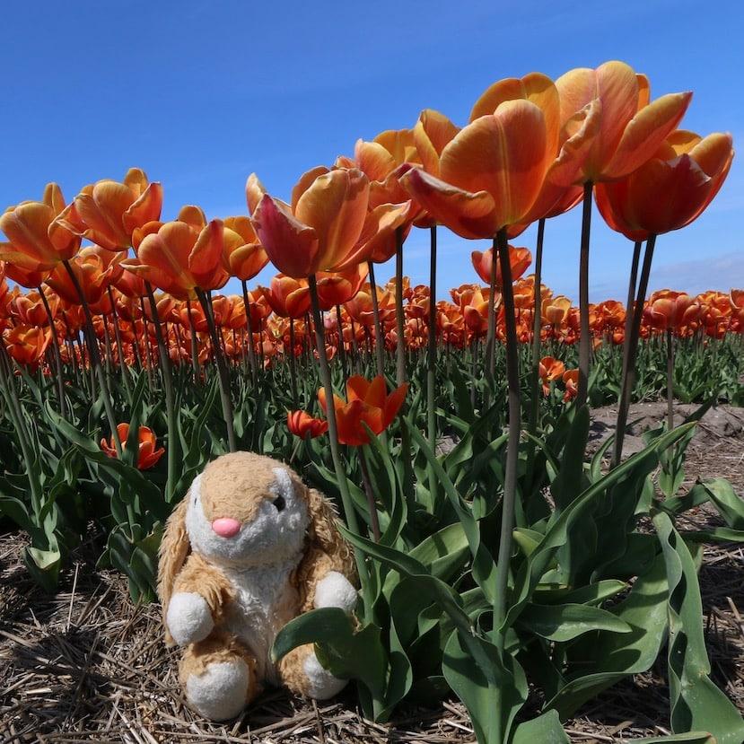Posing among tulips