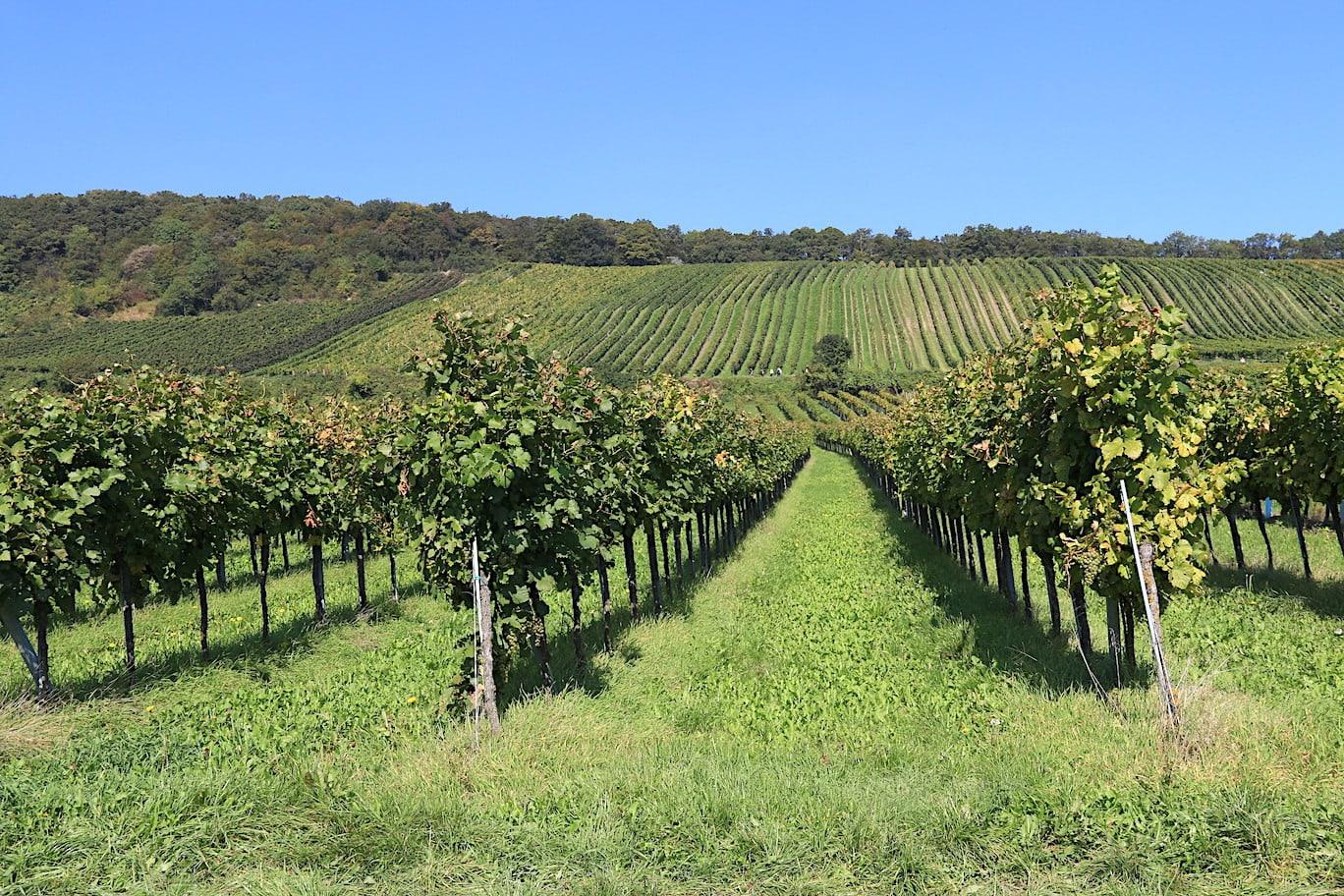 Beautiful vineyards of Vienna