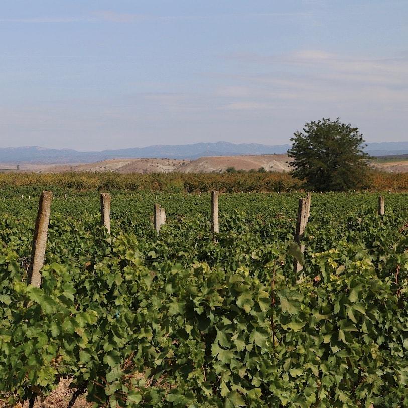 Macedonian vineyards