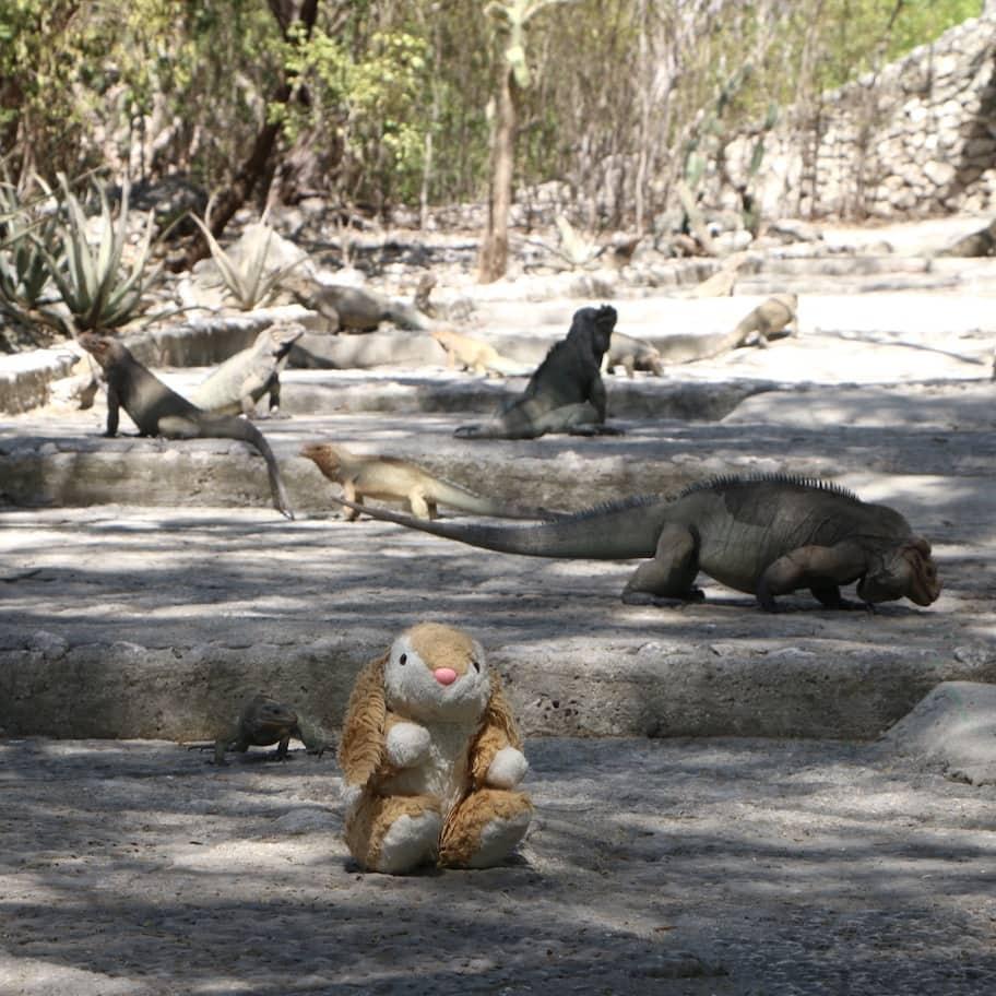 Bunny's close encounter with iguanas