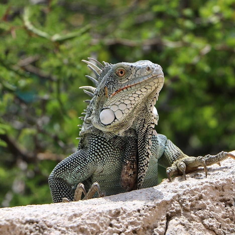 Curacao iguana