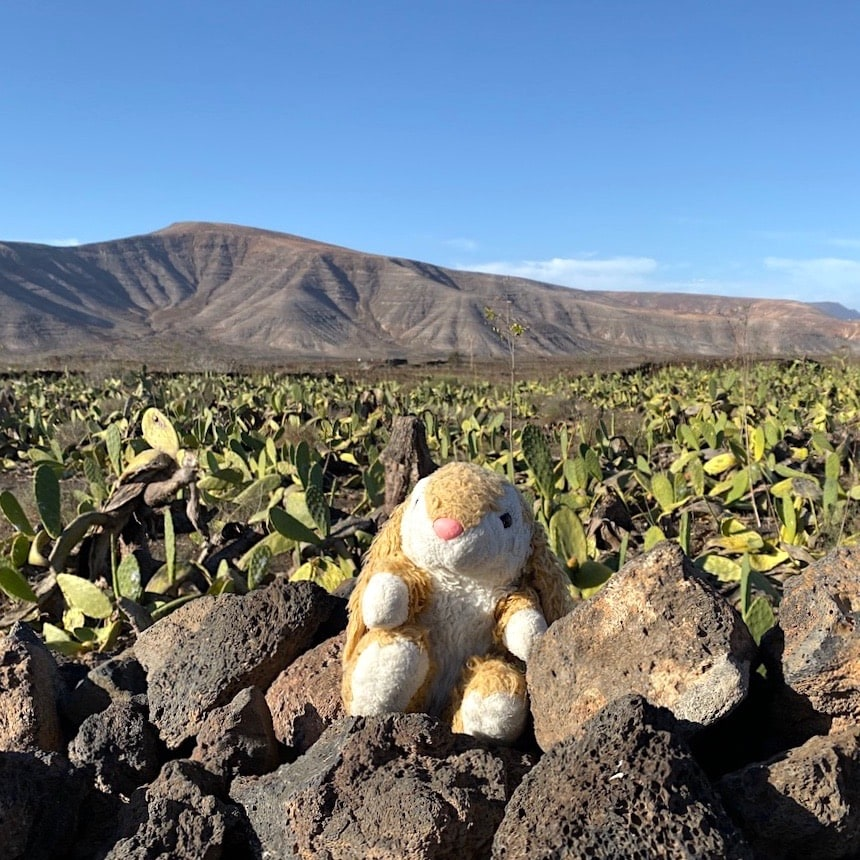 Bunny posing in the cactus field