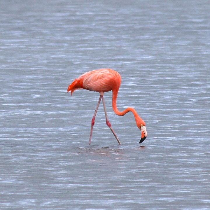 Flamingos in Curacao