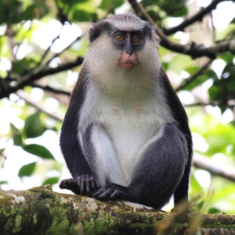 Grenada has monkeys!