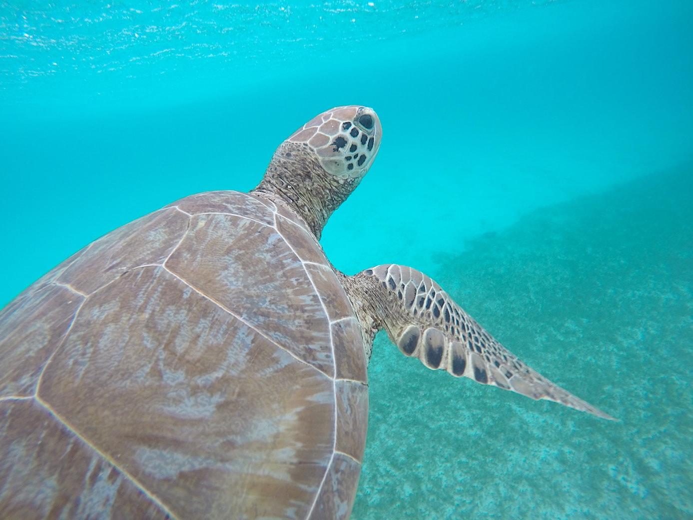 Tobago Cays turtles
